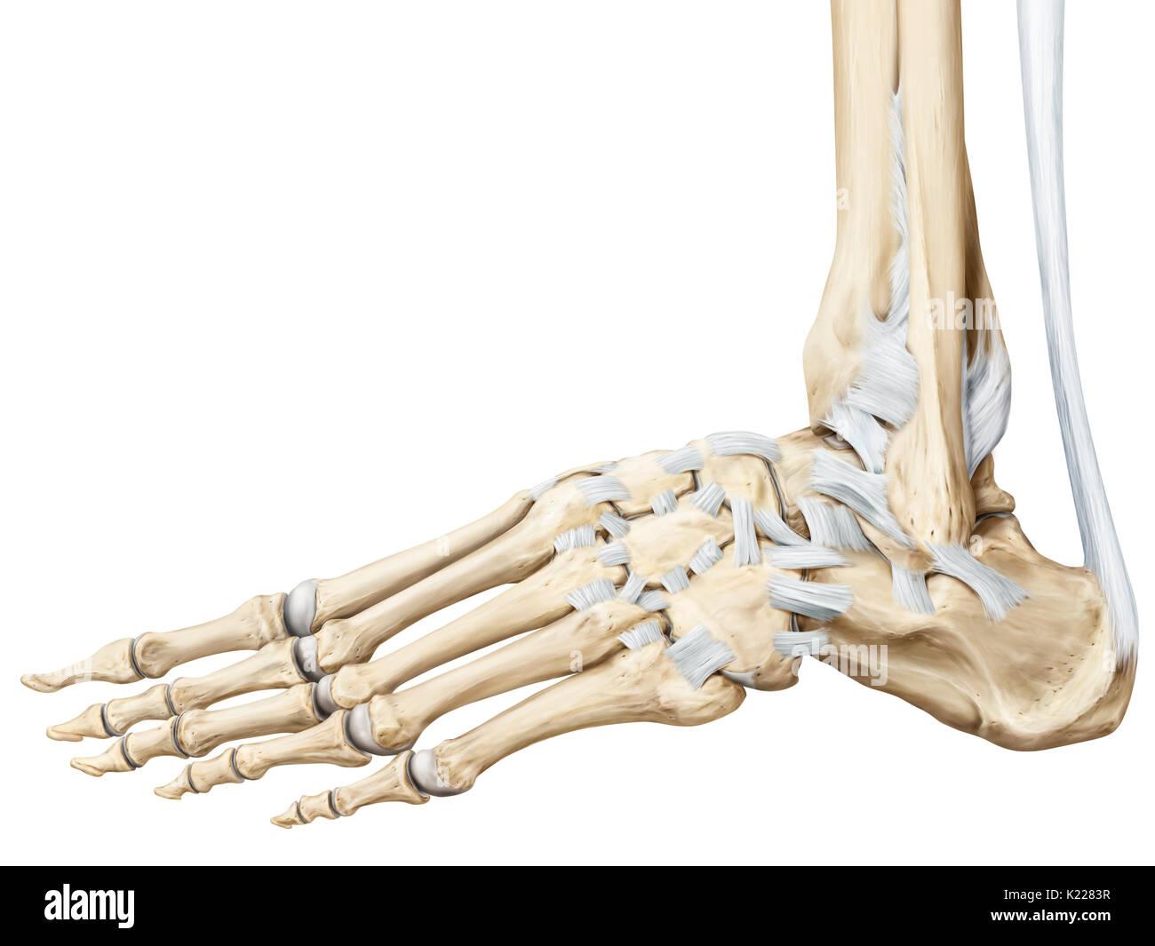 Ziemlich Anatomie Der Knochen Und Gelenke Ideen - Menschliche ...