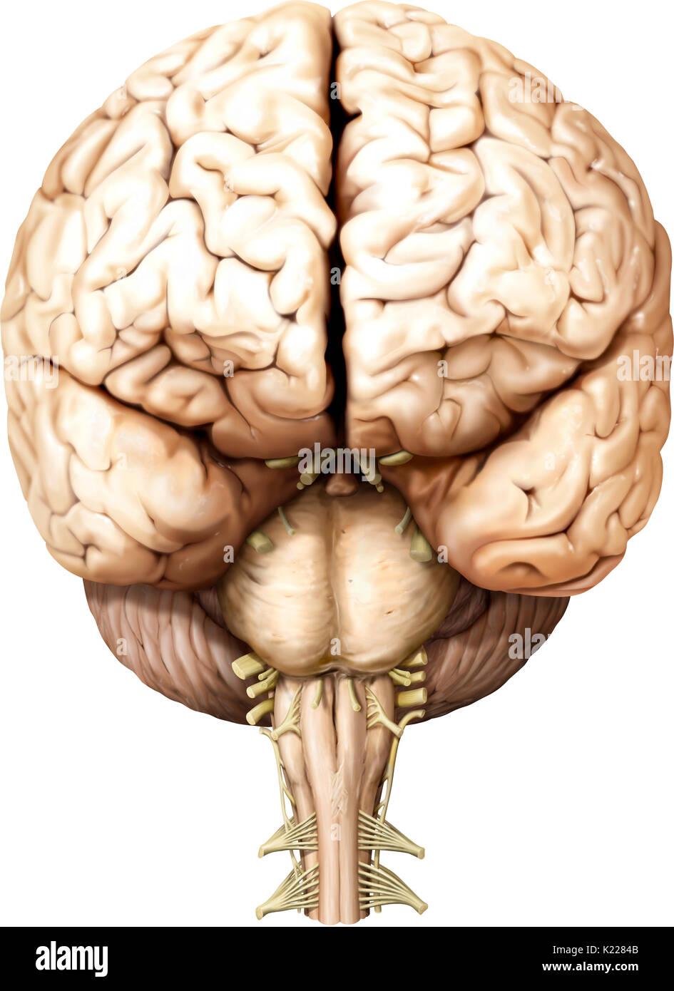 Teil des zentralen Nervensystems im Schädel eingeschlossen ...