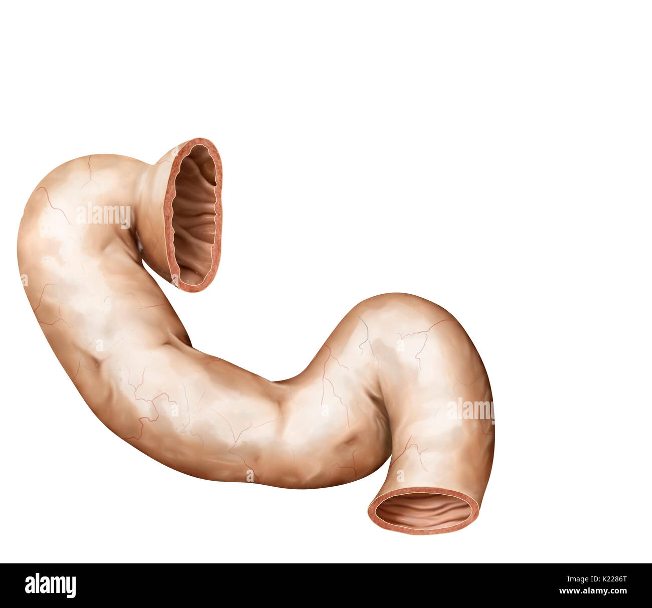 Pancreas Anatomy Stockfotos & Pancreas Anatomy Bilder - Alamy