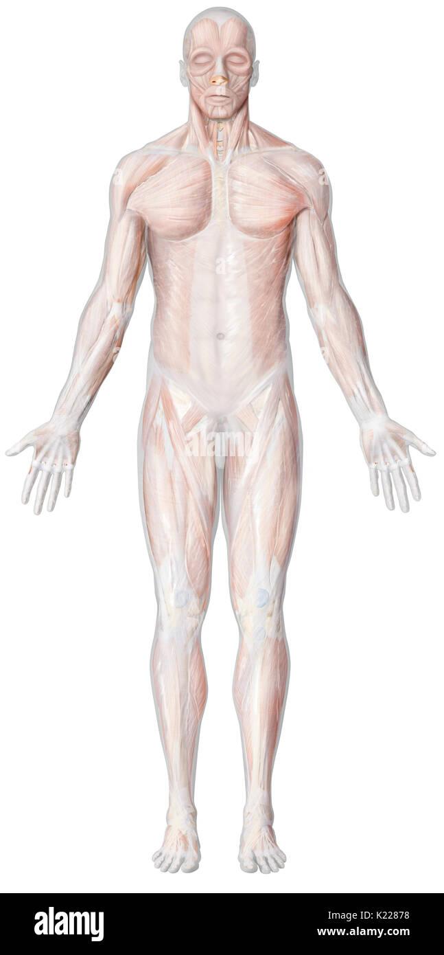 Fantastisch Fallen Muskel Galerie - Anatomie Und Physiologie Knochen ...