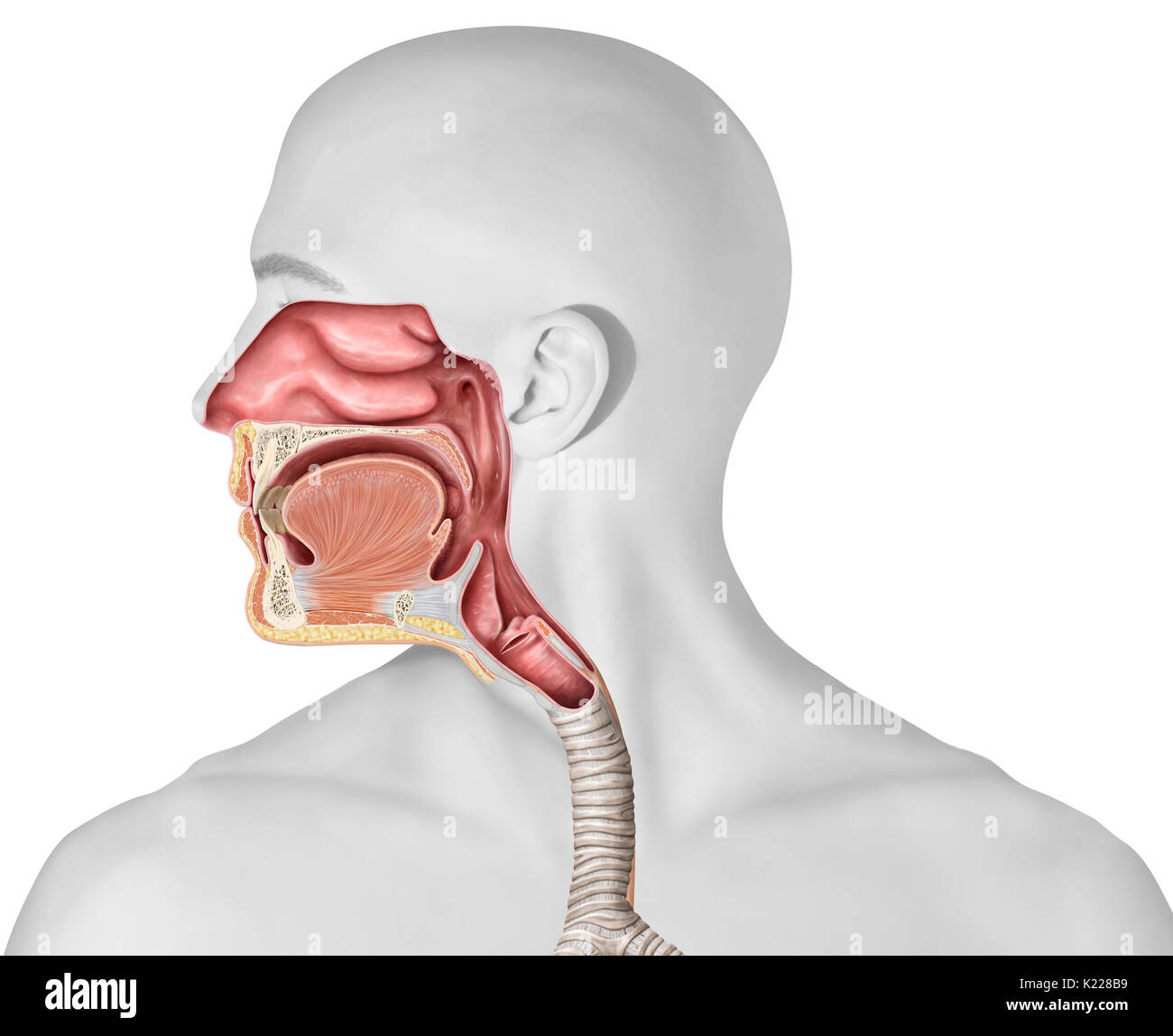 Nasal Cavity Stockfotos & Nasal Cavity Bilder - Alamy