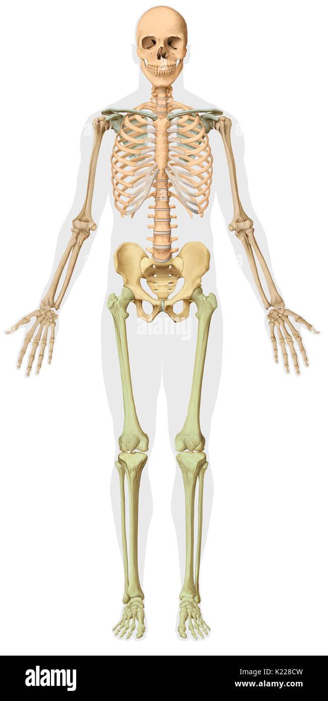 Großzügig Das Menschliche Skelett Knochen Gekennzeichnet ...