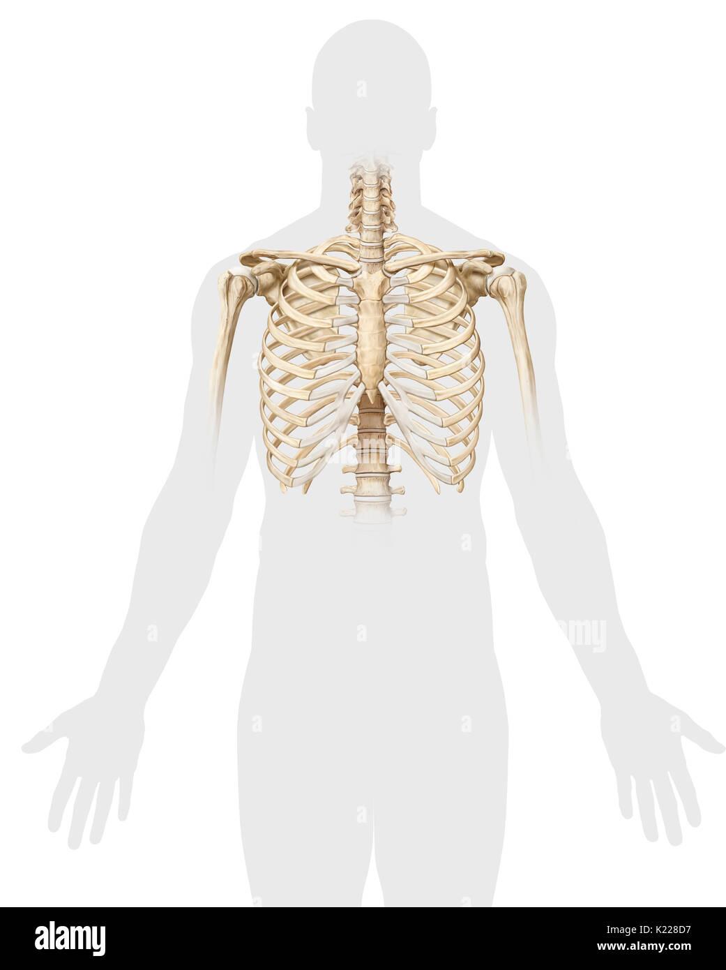 Schön Brust Knochenanatomie Fotos - Anatomie Ideen - finotti.info