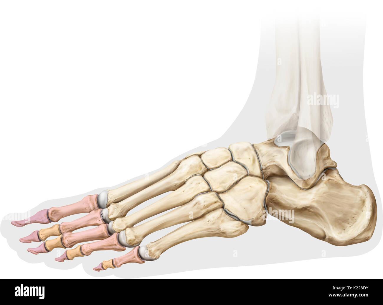 Foot Bones Stockfotos & Foot Bones Bilder - Alamy