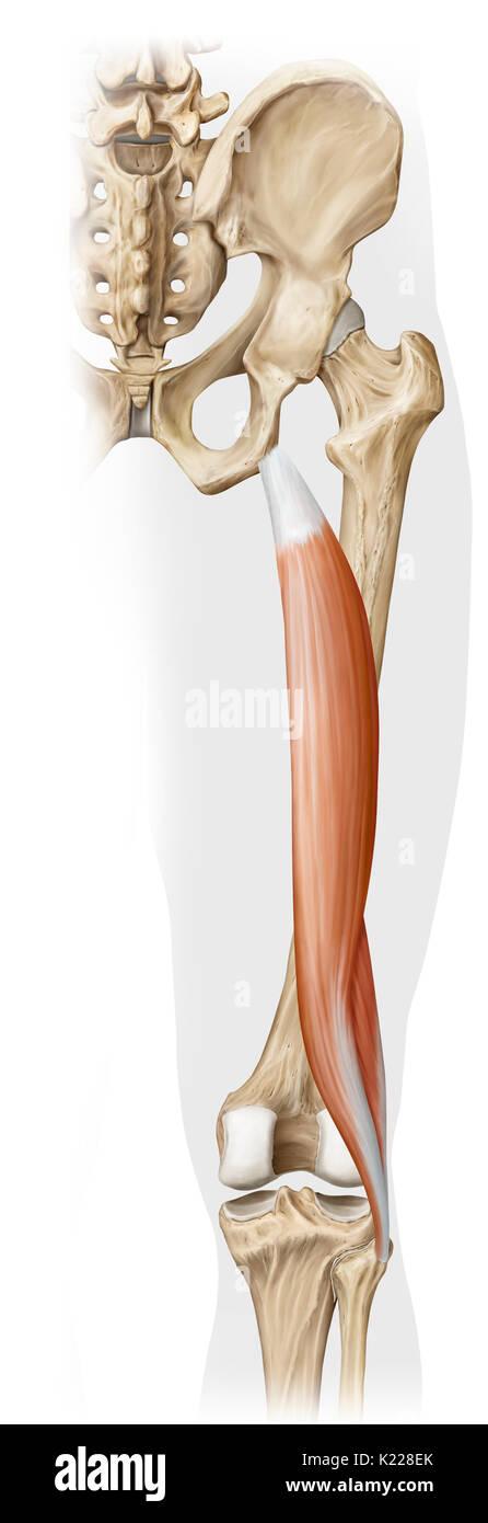 Erfreut Anatomie Muskeln Des Beins Ideen - Anatomie Ideen - finotti.info