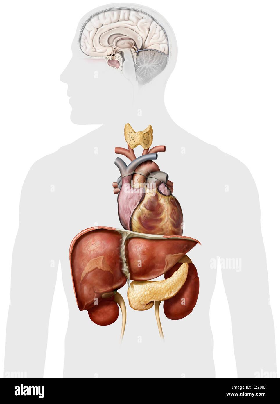 Dieses Bild zeigt die Nebenniere, das Herz, den Hypothalamus, der ...
