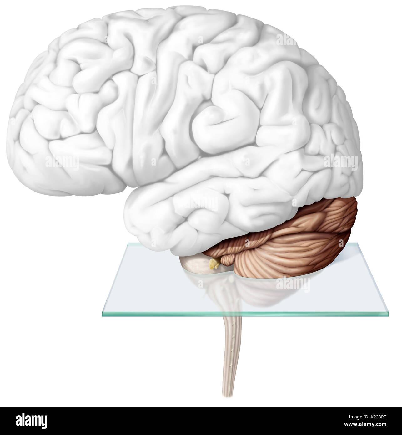 Ziemlich Teile Des Gehirns Diagramm Fotos - Menschliche Anatomie ...