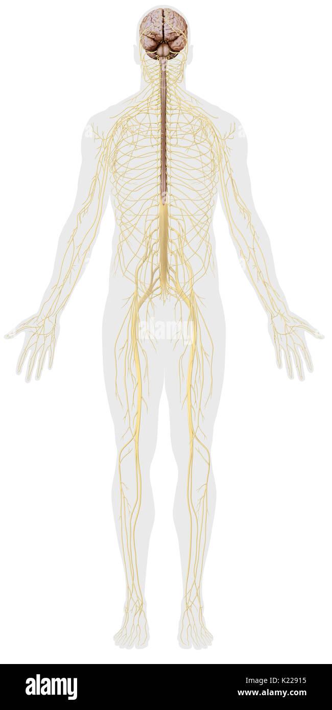 Peripheral Nervous System Stockfotos & Peripheral Nervous System ...