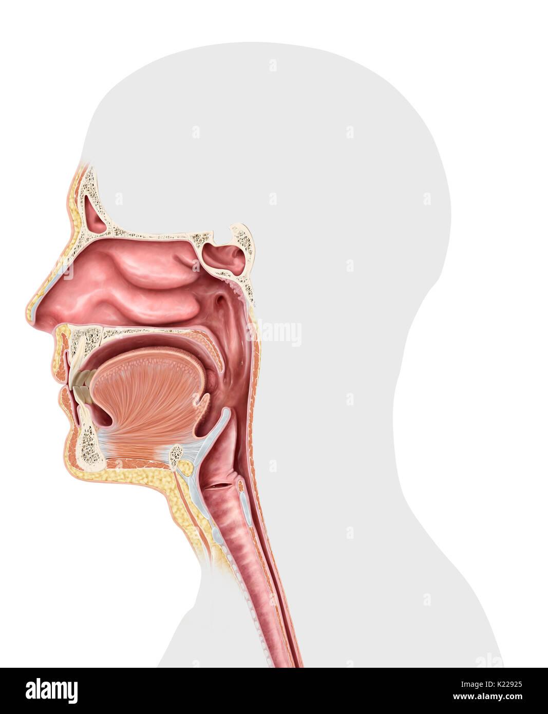 Dieses Bild zeigt die oberen Organe der Atemwege, der Nase, der ...