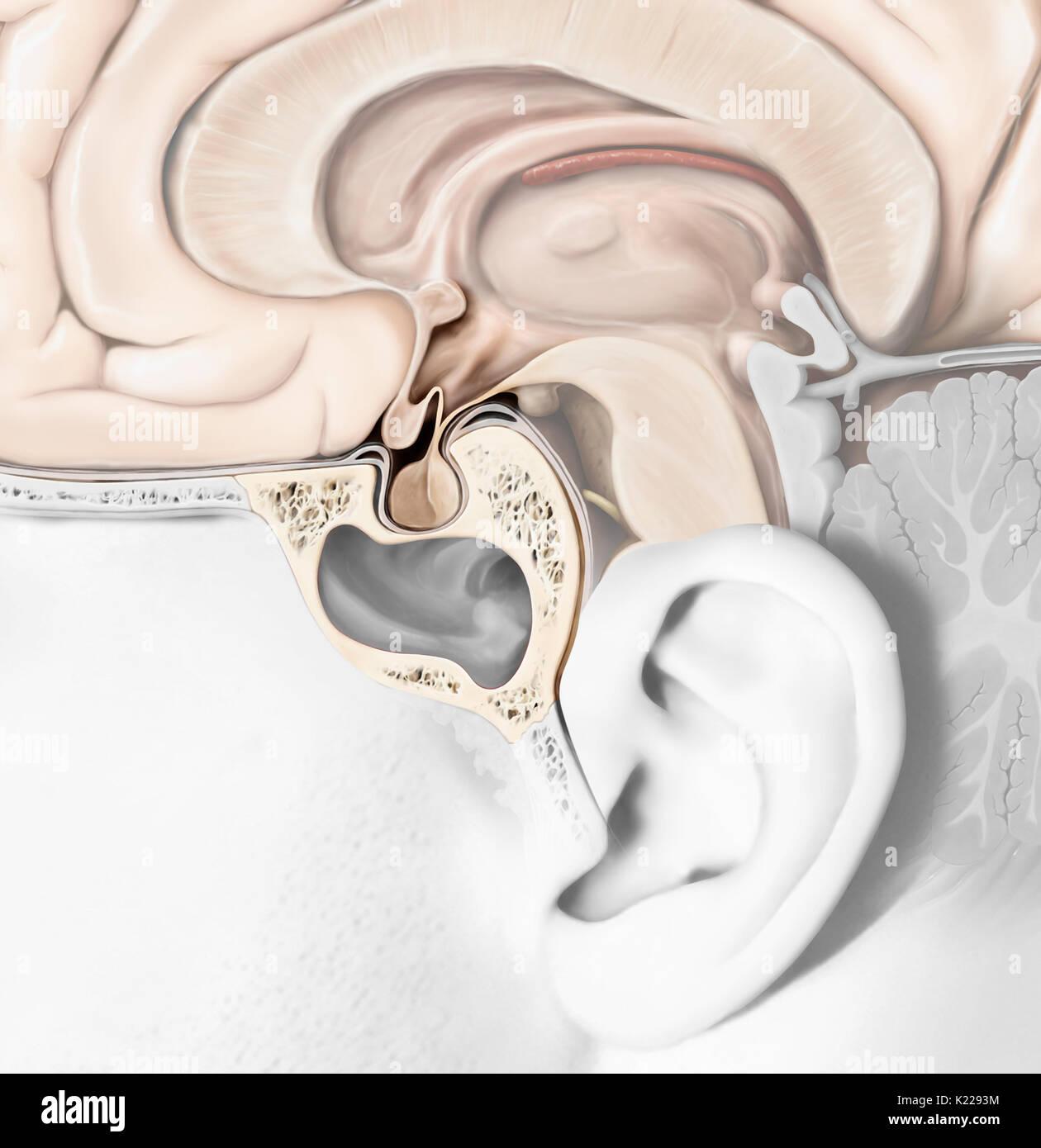Die Hypophyse besteht aus zwei Lappen, die adenopituitary und die ...