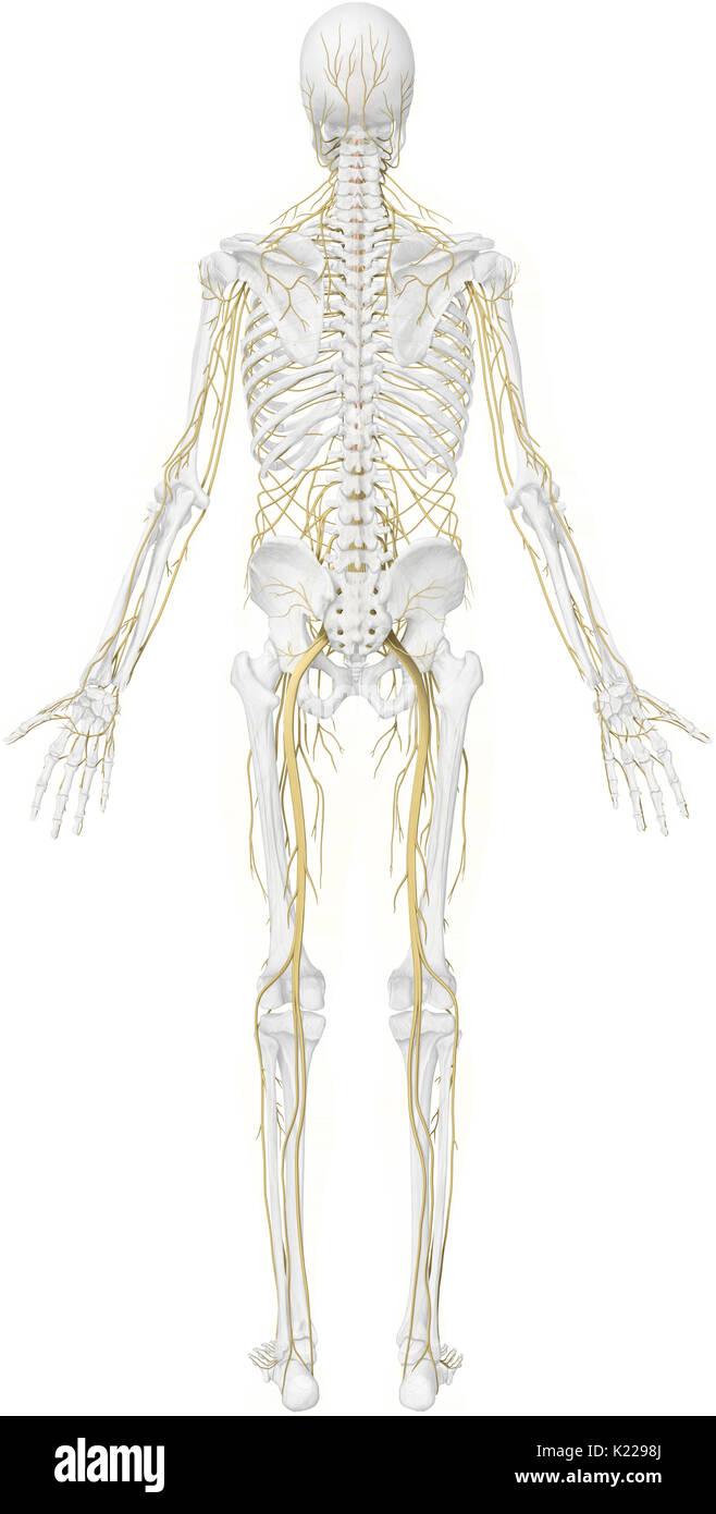 Bündel von Nervenzellen, die sensorischen und motorischen Signalen ...