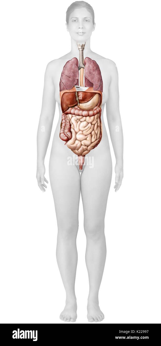 Fantastisch Organe Des Verdauungssystems Zeitgenössisch - Anatomie ...