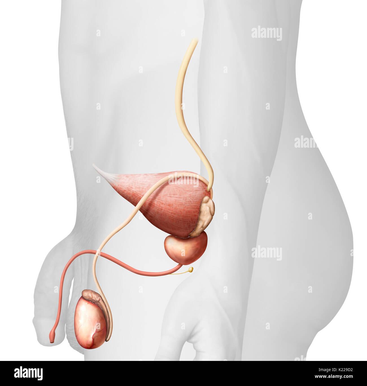 Dieses Bild zeigt die Harnleiter, der Harnblase, der Harnröhre und ...