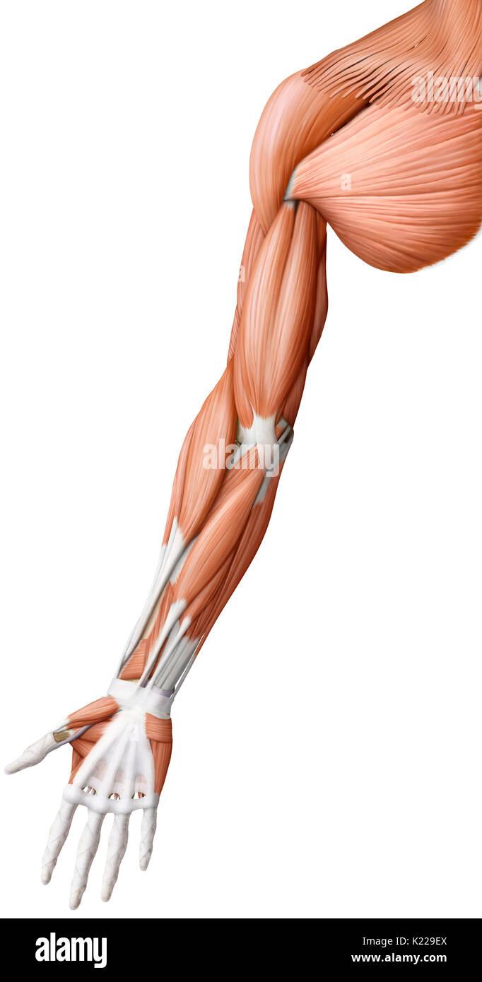 Human Hand Muscles Illustration Stockfotos & Human Hand Muscles ...