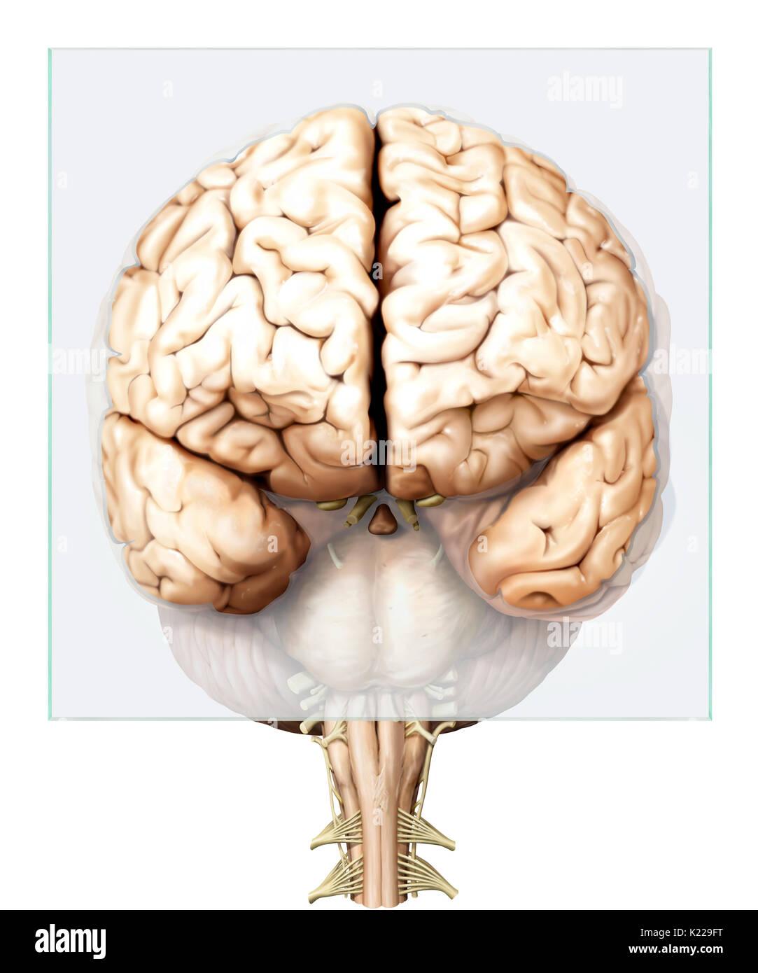 Consisting Of The Cerebrum Stockfotos & Consisting Of The Cerebrum ...