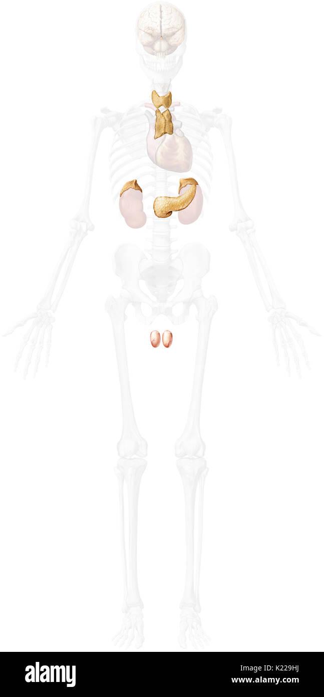 Dieses Bild zeigt die Nebenniere, der Bauchspeicheldrüse, der Hoden ...