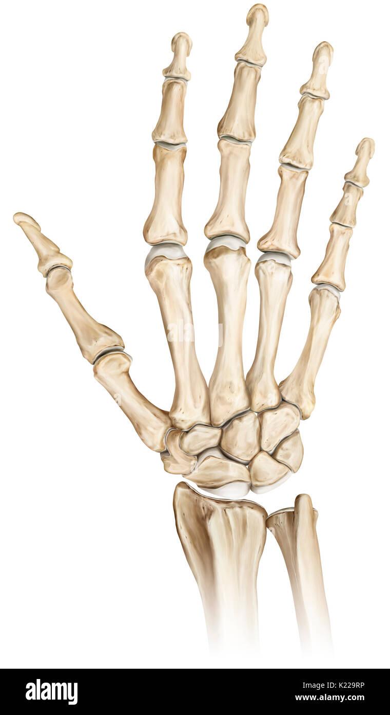 Fantastisch Knochen Des Armes Und Der Hand Zeitgenössisch ...