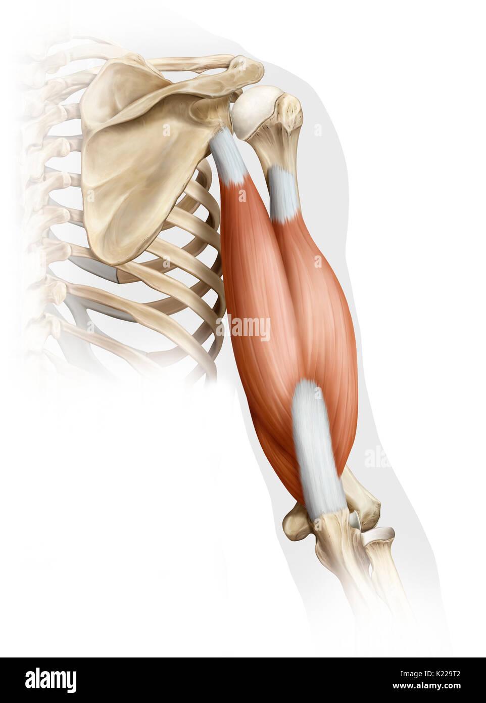 Ziemlich Muskeln Des Unterarms Anatomie Zeitgenössisch - Menschliche ...