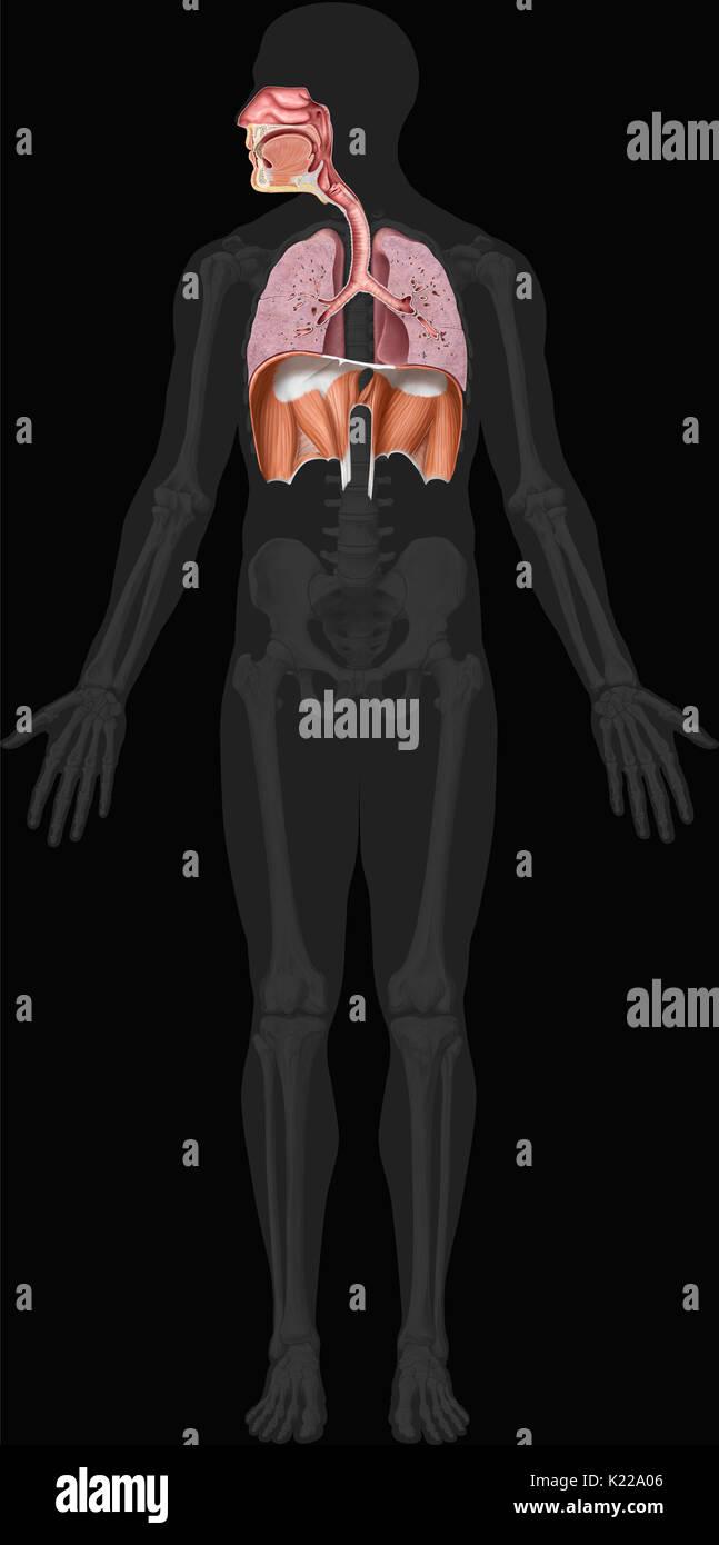 Ungewöhnlich Anatomie Des Larynx Und Des Rachens Galerie ...