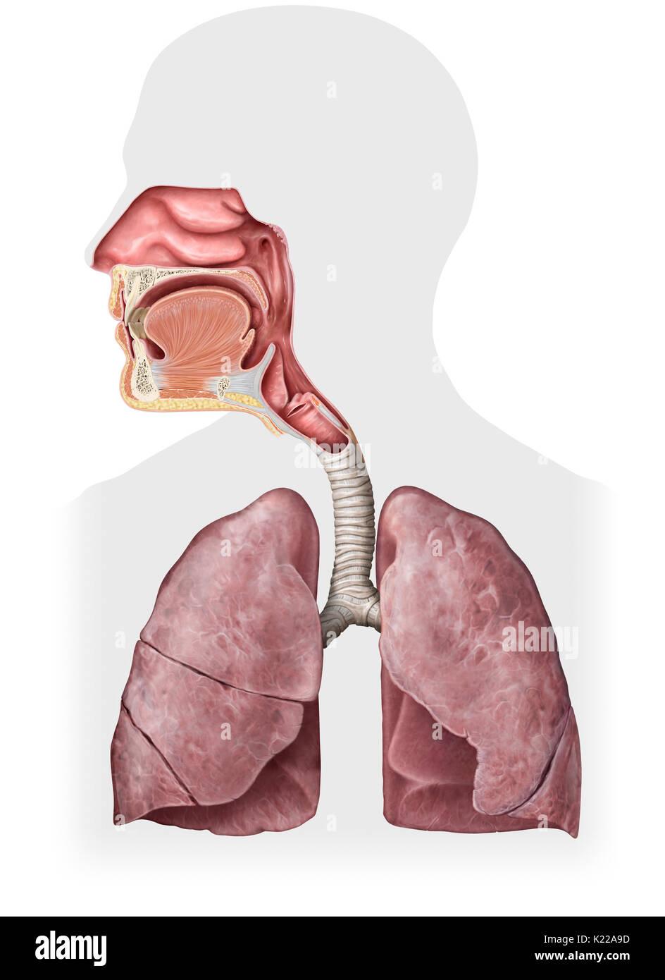 Dieses Bild zeigt die Organe der Atemwege, welche die Nasenhöhle ...
