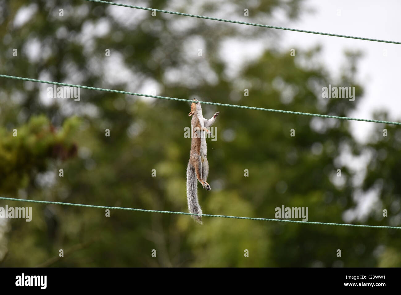 Graue Eichhörnchen sind berühmt für ihre akrobatischen Fähigkeiten ...
