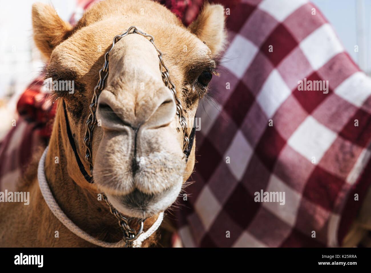Portraitfotos von einem Kamel am Dubai camel Racing Club, VAE Stockbild