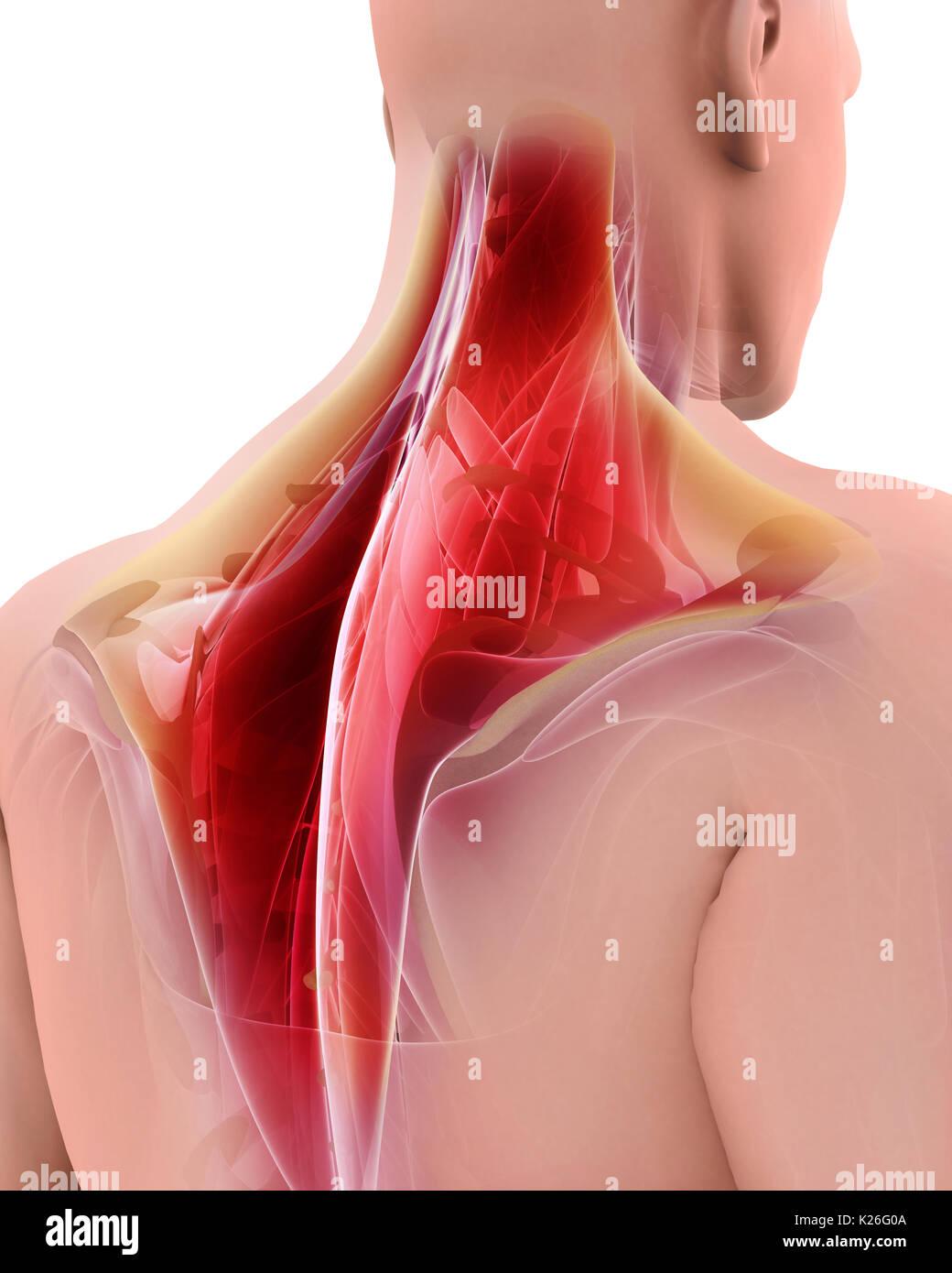 3D-Darstellung der TRAPEZIUS, Teil der Muskel Anatomie Stockfoto ...