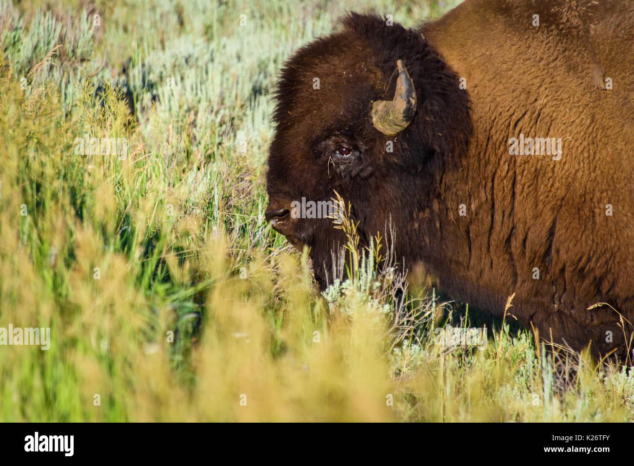 Porträt einer Amerikanischen Bisons alias Buffalo in der Prärie im Yellowstone  National Park Stockbild 108d0213dc