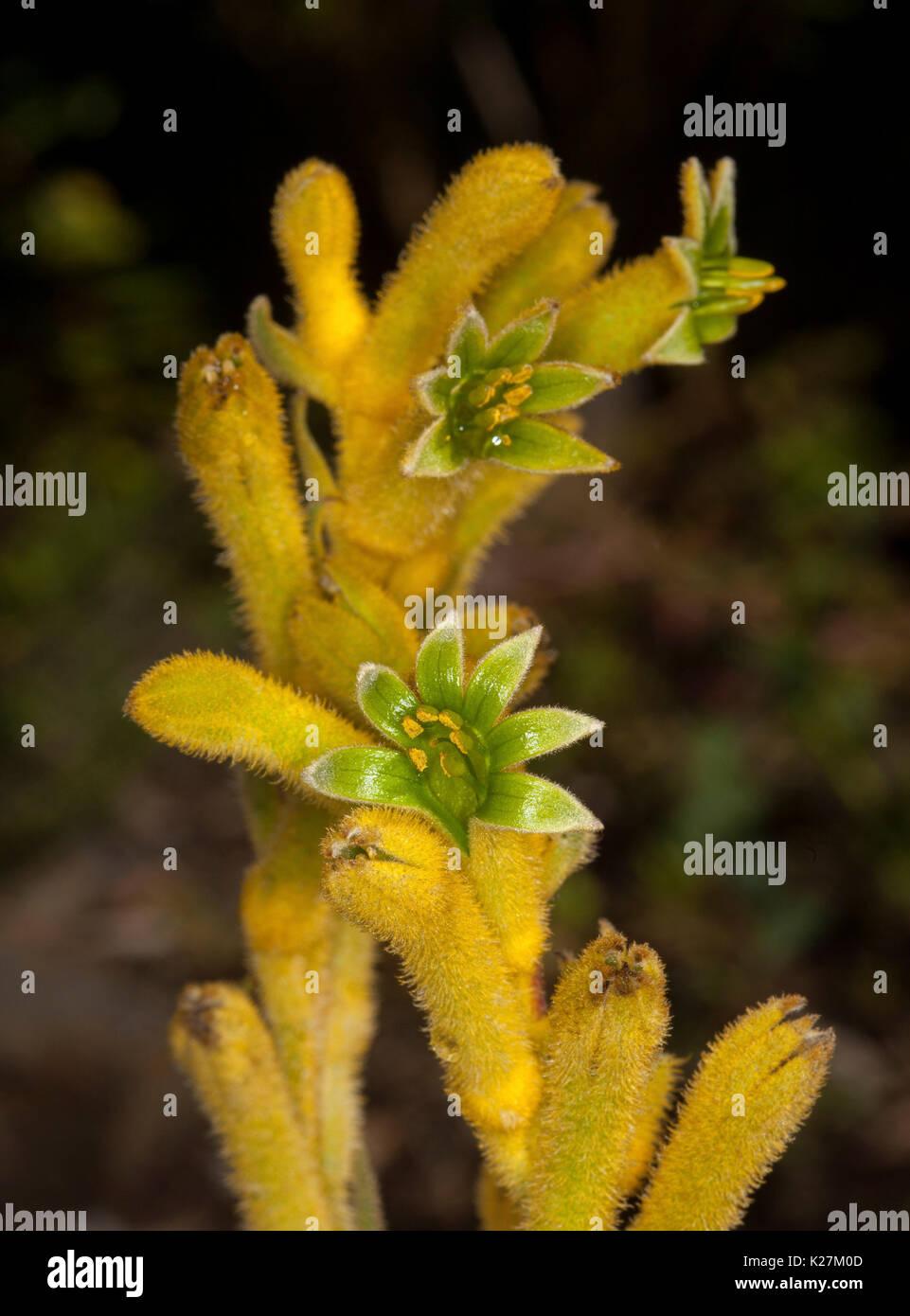 Ungewöhnlich helle gelbe und grüne Blumen von Anigozanthos - kangaroo Paw, eine dürreresistente Australische einheimische Stockfoto
