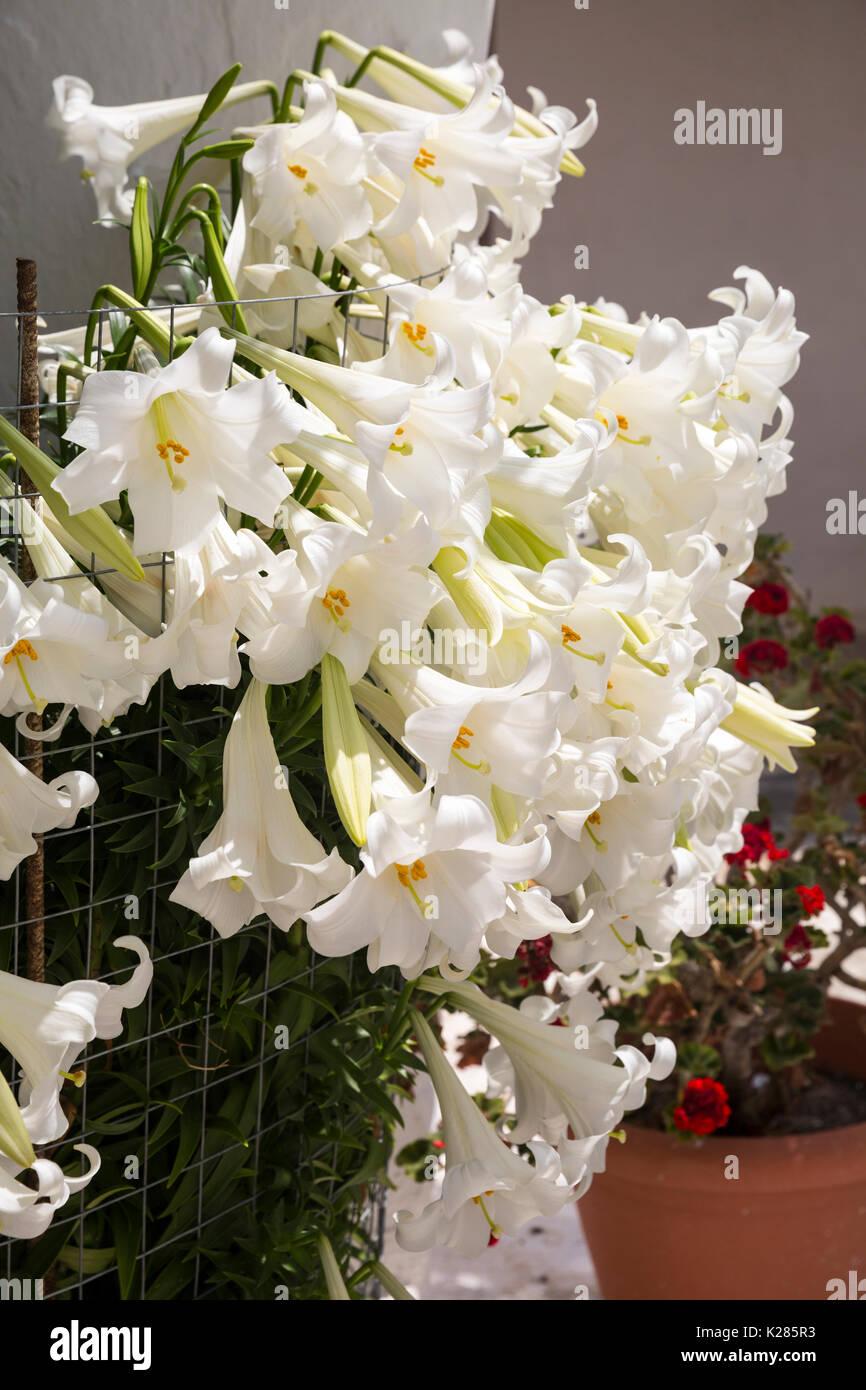 Weiße Madonna Lilien (Lilium Candidum) zusammengefasst. Stockbild