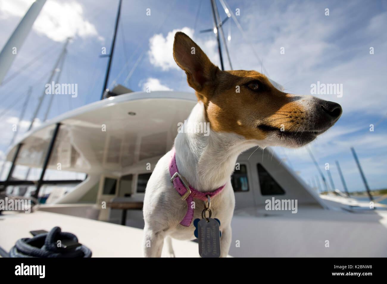 "Terrier Hund ""Pickles"" an Bord von Elvis, ein Kanonenboot 60 am Antigua Race Week in Antigua, Karibik. Stockbild"