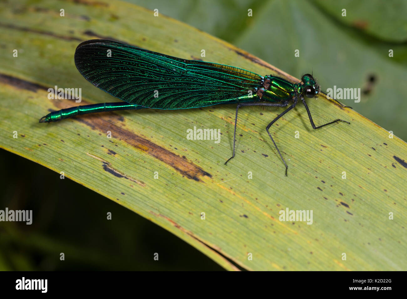 Reife männliche Schöne demoiselle damselfly, Calopteryx Virgo, Anzeigen iridiscent Blau-grüne Färbung auf Körper und Flügel Stockbild