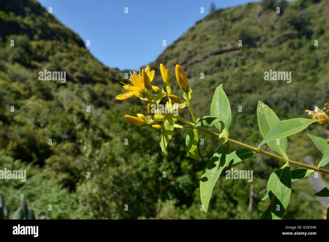 Die Blütezeit der Kanarischen Inseln Johanniskraut (Hypericum canariense) montane Lorbeerwald/Laurissilva, Stockbild