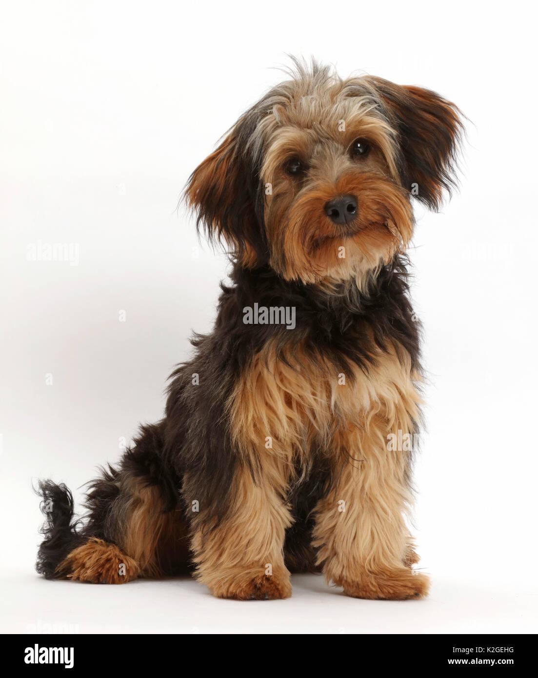 Yorkipoo Hund, Yorkshire Terrier Kreuz Pudel, Oscar, im Alter von 6 Monaten. Stockbild
