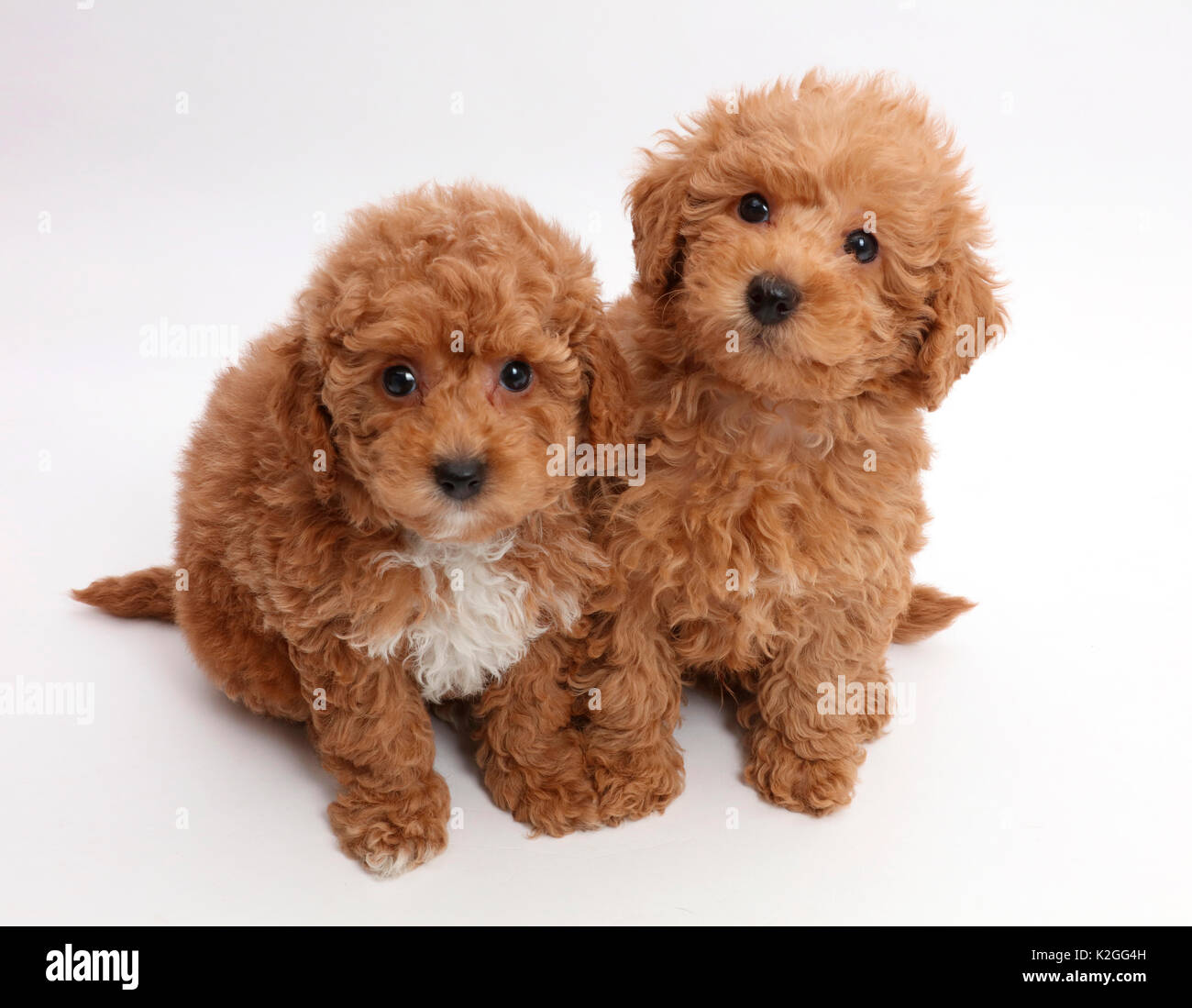 labradoodle welpe