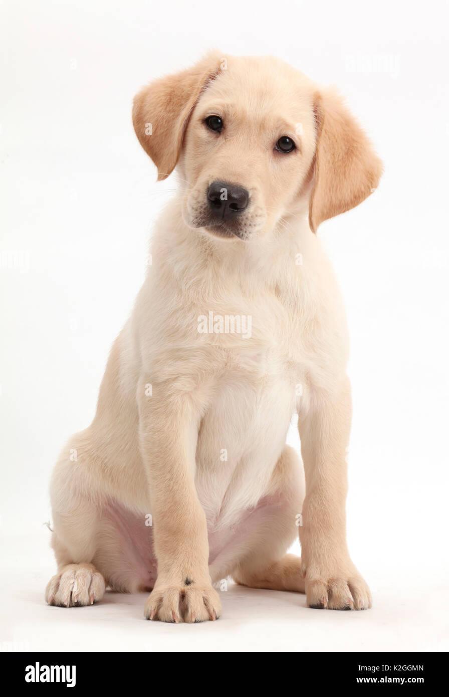 Gelben Labrador Retriever Welpen Alter 9 Wochen Stockfotografie Alamy
