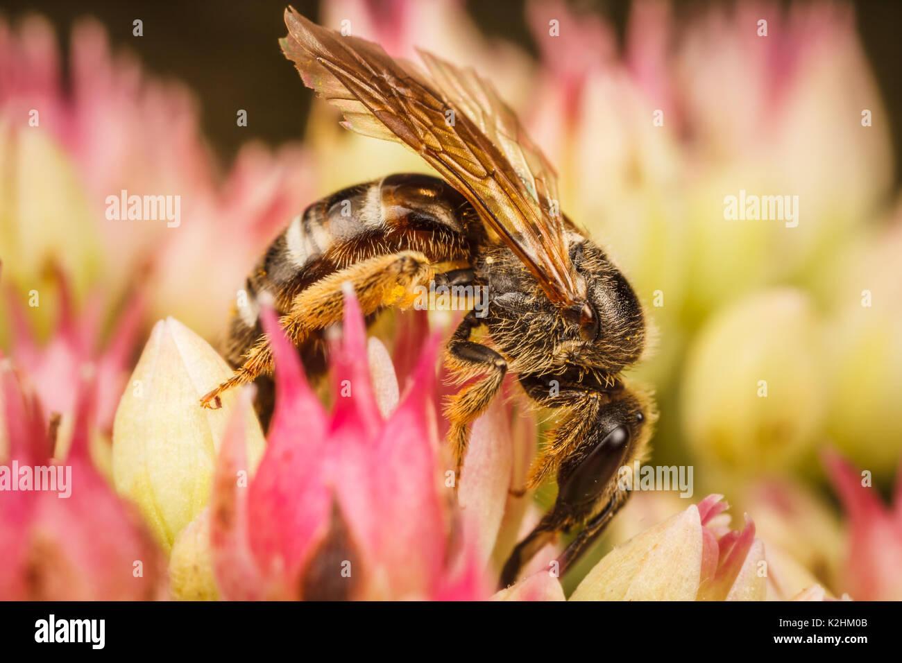 Schweiß Biene, Lasioglossum Stockbild