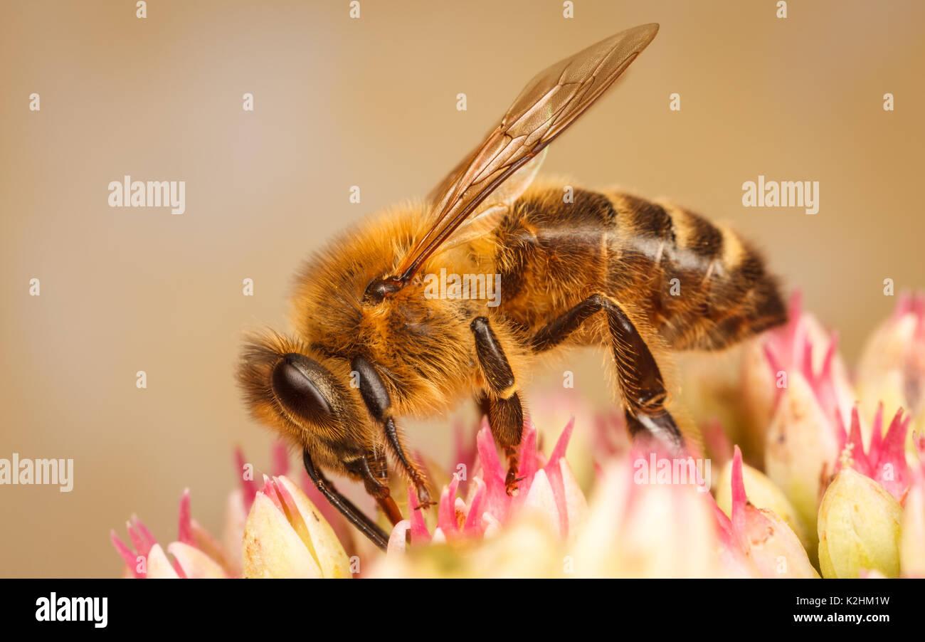 Westliche Honigbiene, Apis mellifera Stockbild