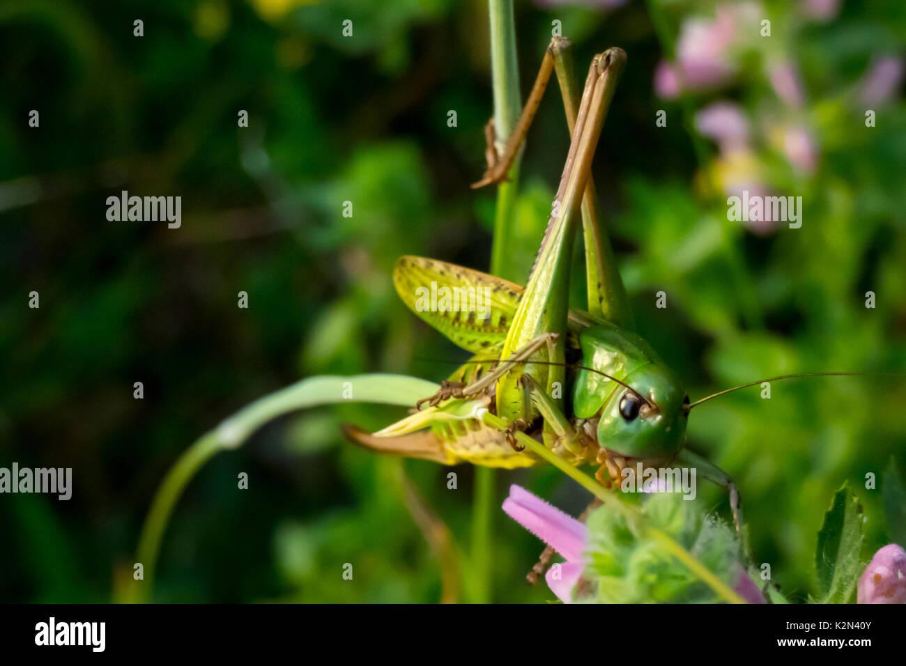 Nahaufnahme eines großen Green Bush - Kricket Fütterung auf den Blättern. (Tettigonia Viridissima) Fleischfressende und arboreal Insekt. Stockbild