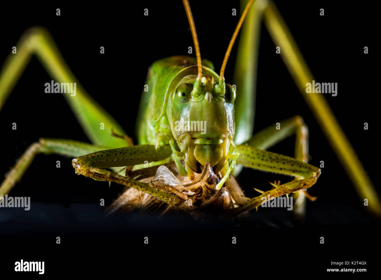 Grüne große Katydid Leaf Bug Heuschrecke Tettigonia Viridissima mystic Stockbild