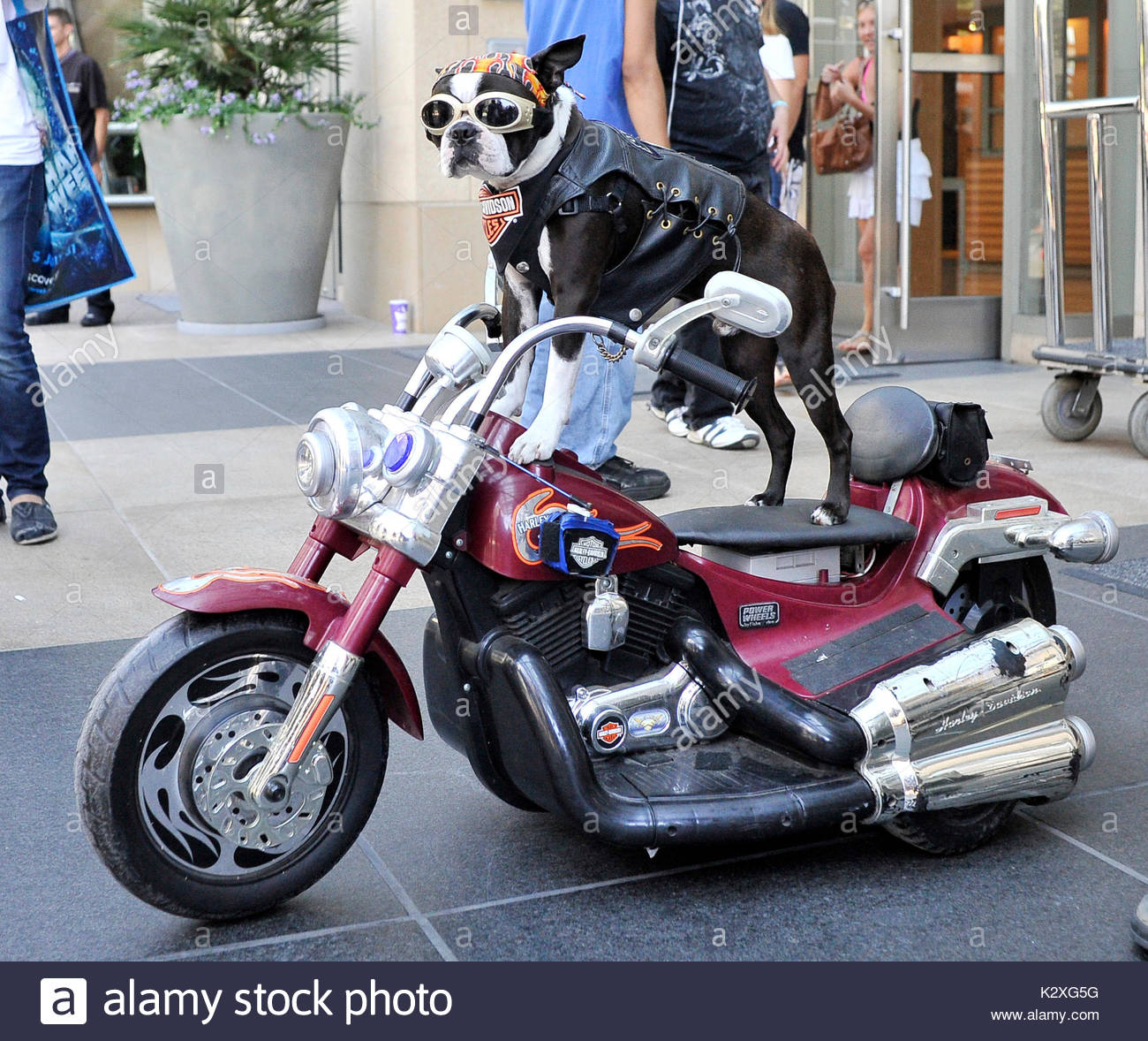 dog on motorcycle stockfotos dog on motorcycle bilder. Black Bedroom Furniture Sets. Home Design Ideas