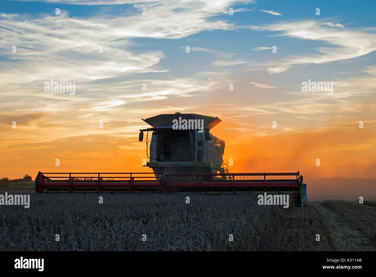 Claas Mähdrescher schneiden Feld von Weizen in der Dämmerung, Cambridgeshire, England Stockfoto