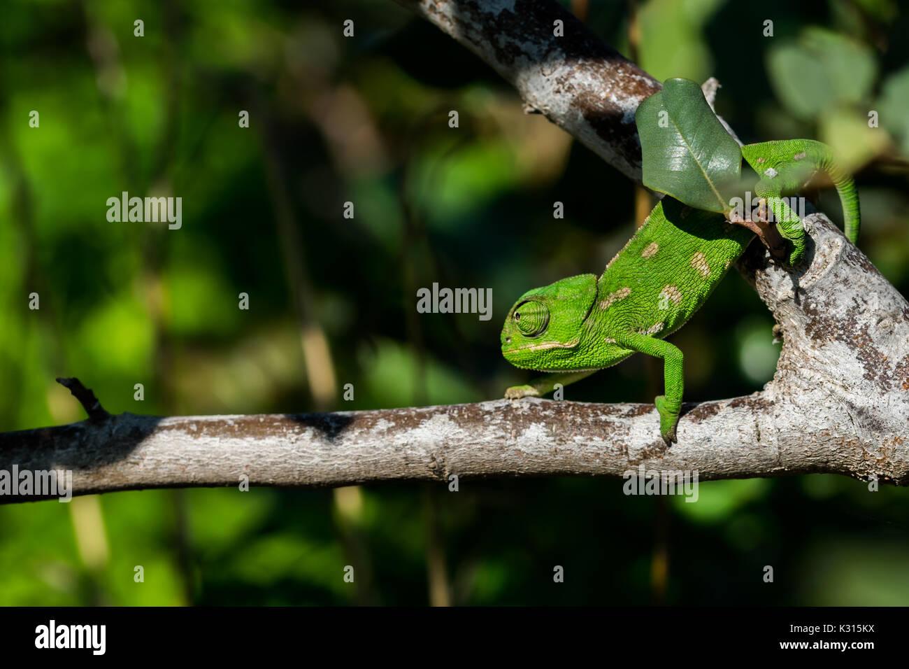 Ein Baby mediterrane Chameleon (Chamaeleo chamaeleon) langsam auf einem johannisbrotbaum Niederlassung in Malta. Stockbild