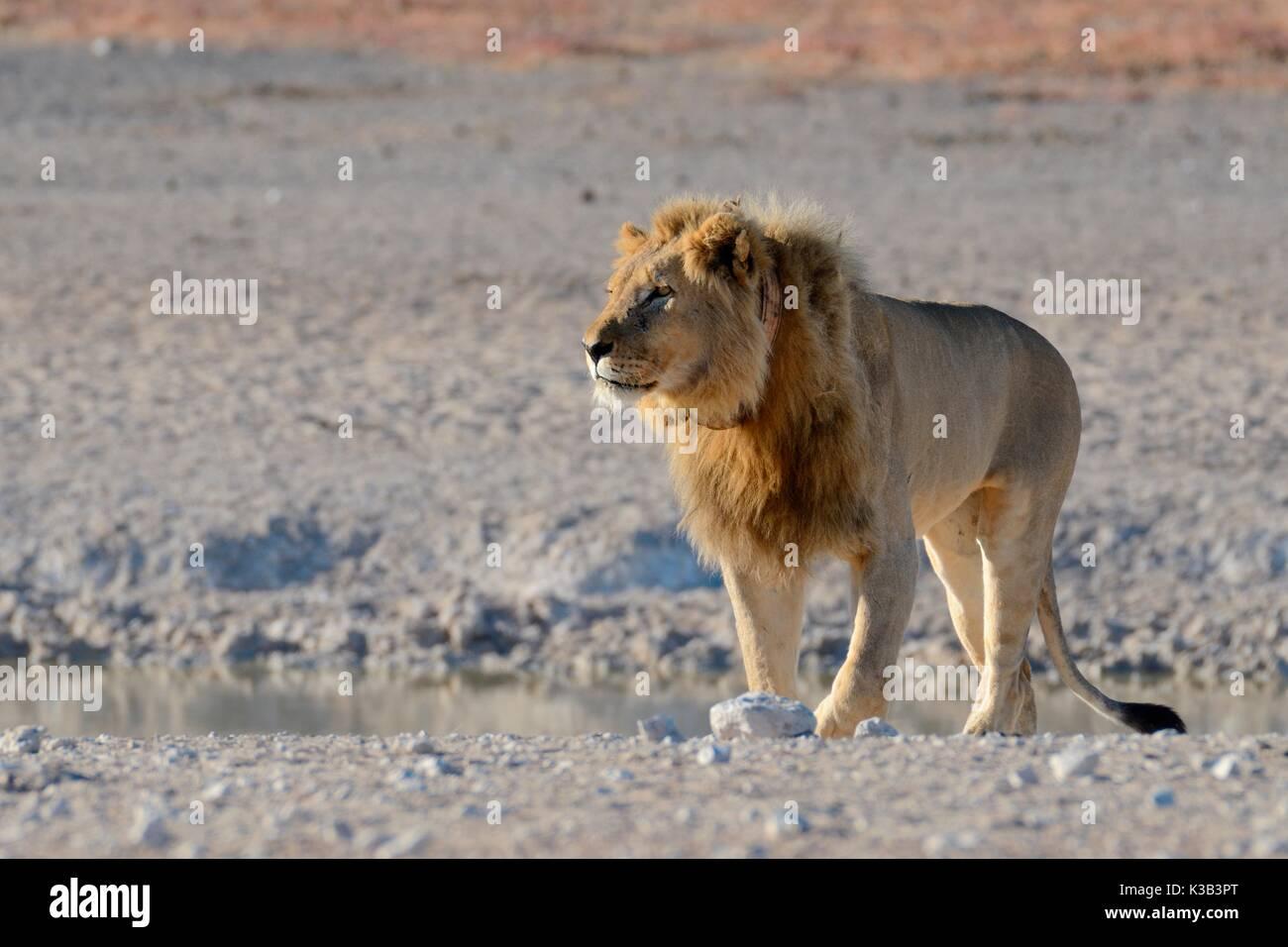 Afrikanischer Löwe (Panthera leo) an einer Wasserstelle, mit Tracking collar, Etosha Nationalpark, Namibia Stockbild