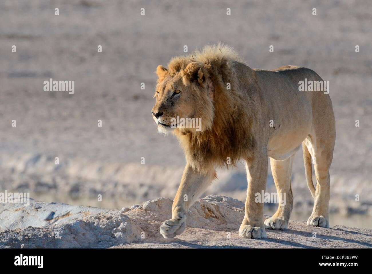 Afrikanischer Löwe (Panthera leo) mit Tracking collar, Wandern, Etosha Nationalpark, Namibia Stockbild