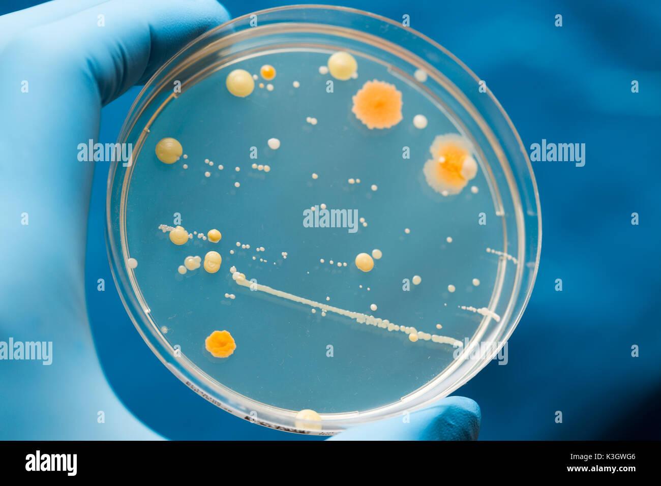 Eine Petrischale mit wachsenden Kulturen von Mikroorganismen, Pilze und Mikroben. Eine Petrischale (Petrie Teller) als Petrischalen oder Zelle bekannt - kulturschale Stockfoto