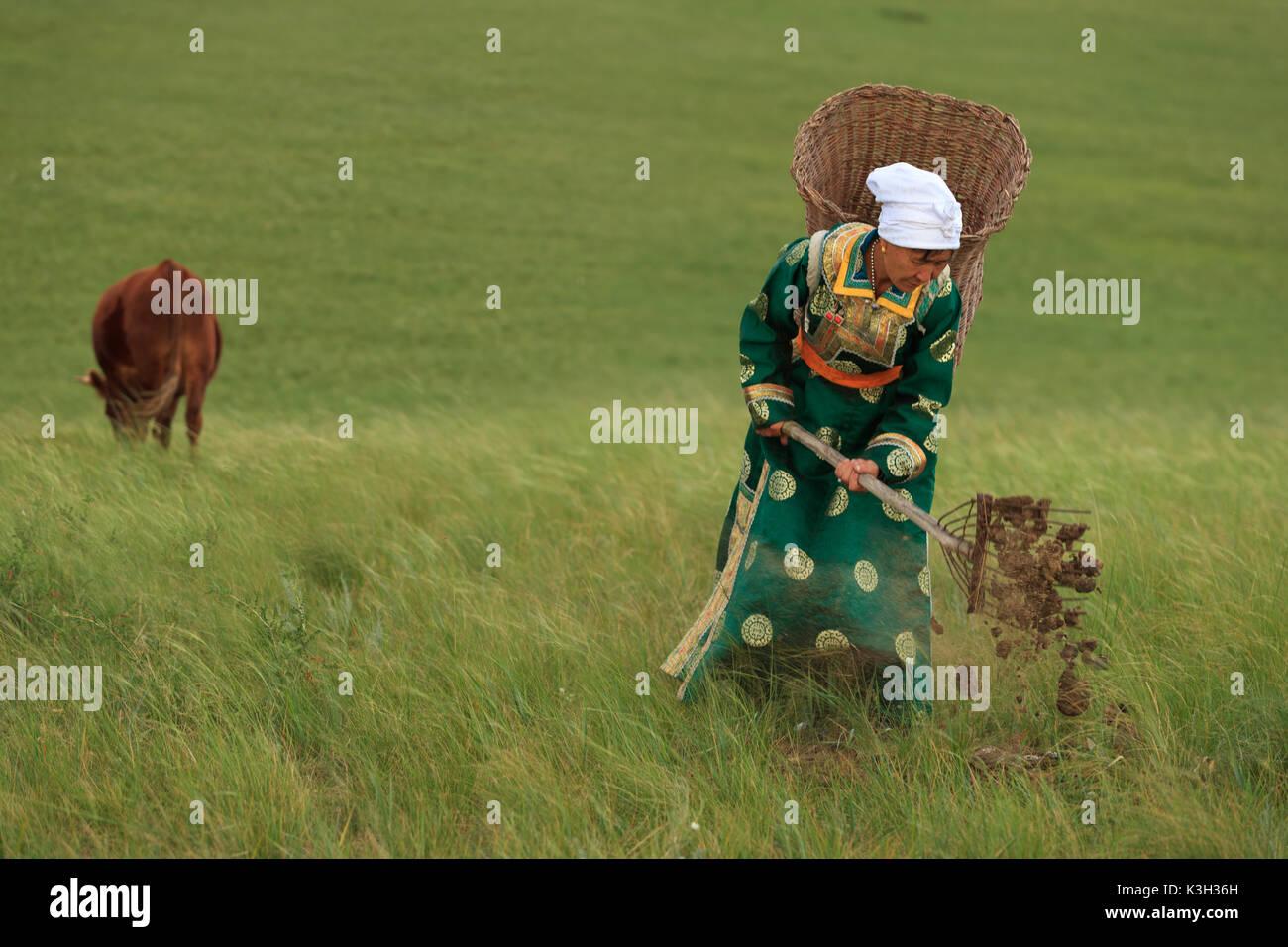 Die innere Mongolei, China-July 31, 2017: Unbekannter nomadisierende mongolische Frau sammelt die Kuhmist in Ihren Korb auf den Rücken, um zu rasen o vorbereiten Stockbild