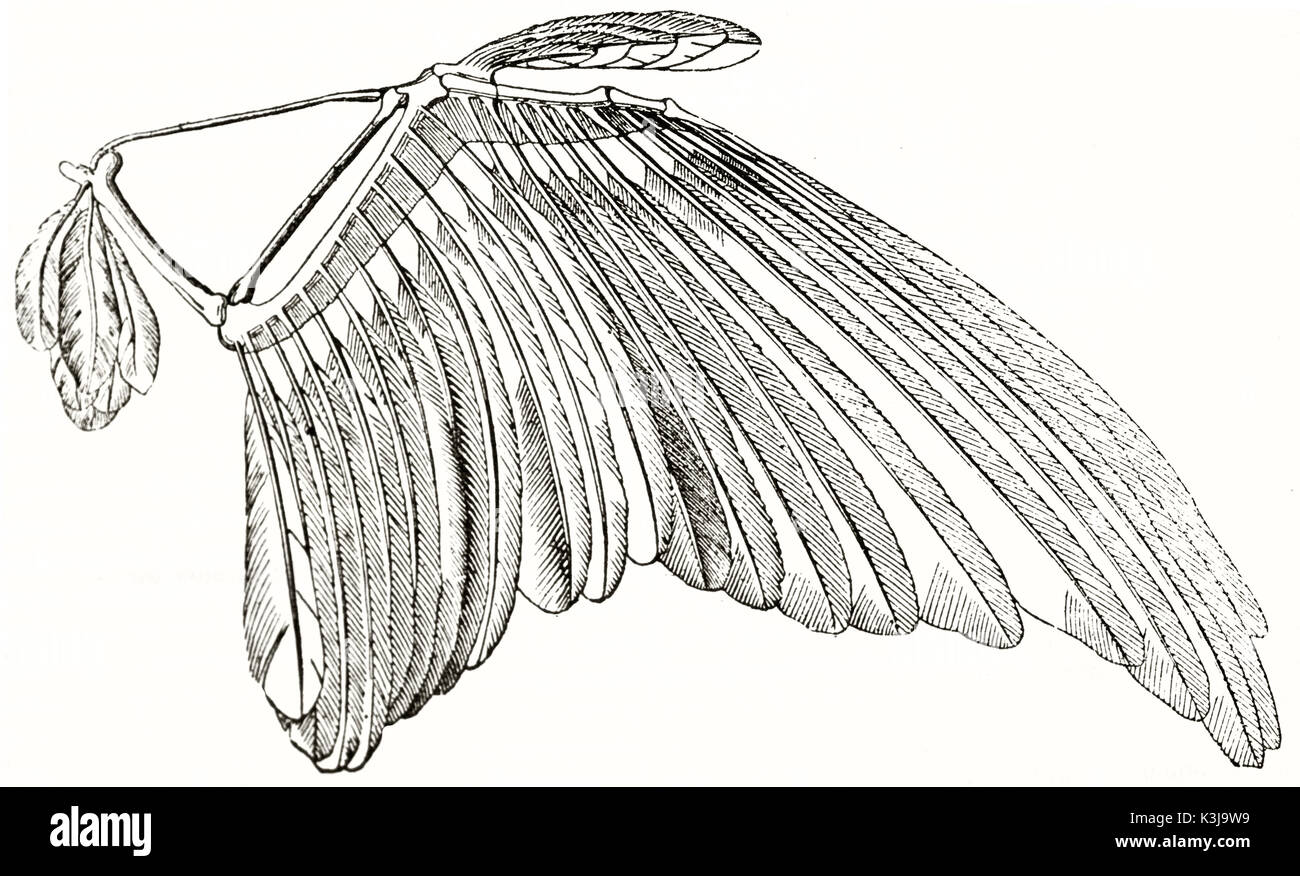 Bird Wing Anatomy Stockfotos & Bird Wing Anatomy Bilder - Seite 2 ...