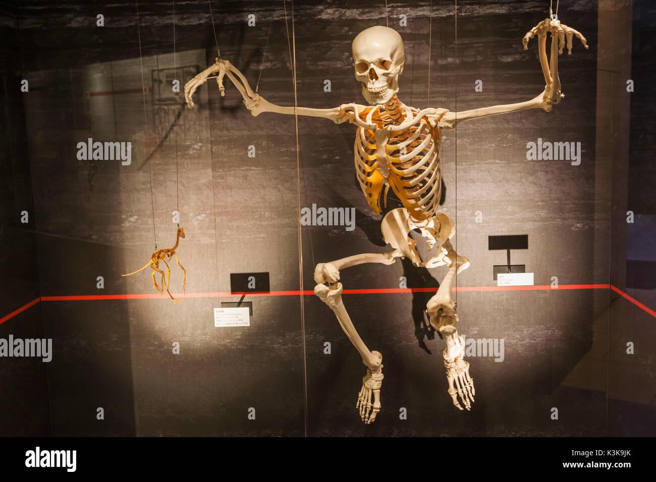 Japan, Hoshu, Tokio, Ueno Park, das Nationale Museum für Natur und Wissenschaft, Ausstellung des menschlichen Skeletts Stockbild