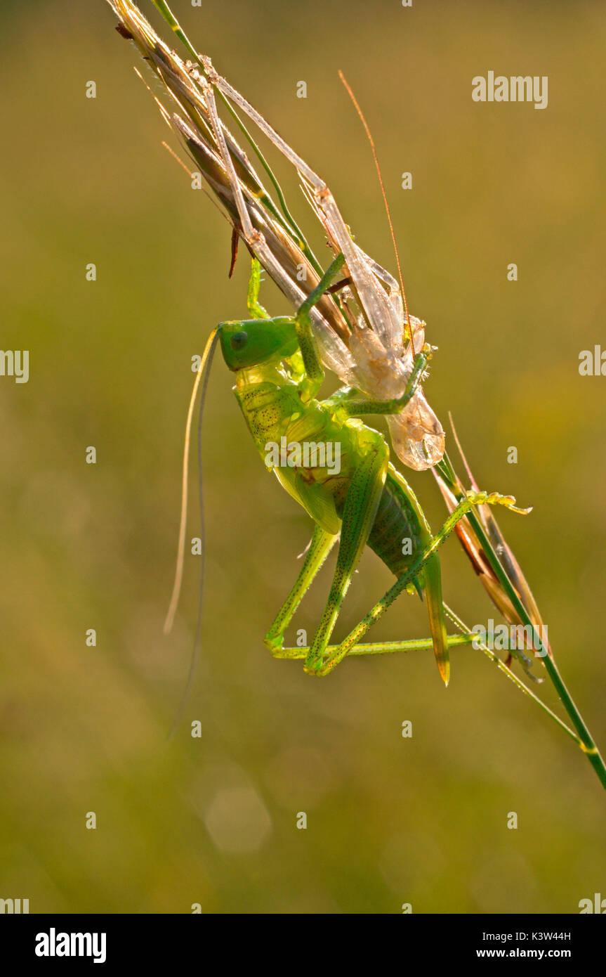 Tettigoniidae, Casareggio, Ligurien, Vobbia, Italien Stockbild